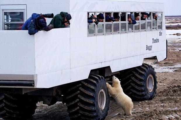 Excursion en Tundra Buggy, dont les roues de 1,20 mètre permettent d'observer sans risques la star locale.