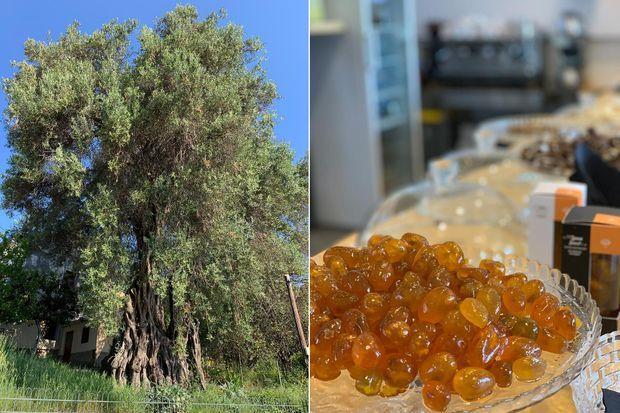 A gauche : à Agios Prokopios, un des plus vieux oliviers de Corfou. A droite : des kumquats confits.