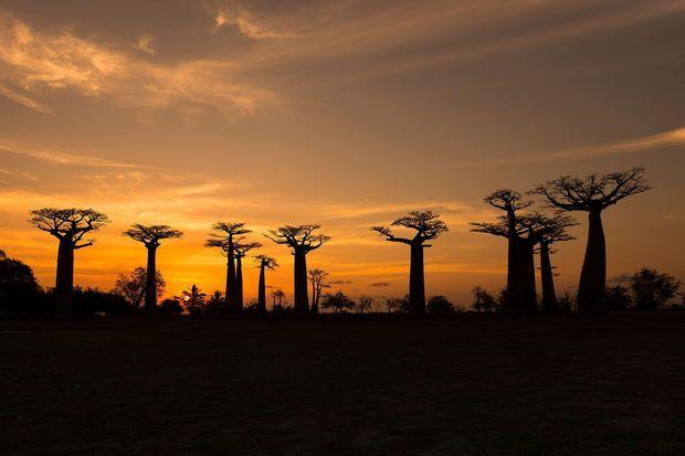 Les baobabs millénaires du parc Reniala à Madagascar