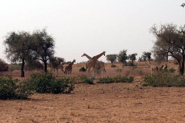 Plus de 400 girafes peralta vivaient dans cette région en 2013, le nombre minimum pour assurer la survie de leur espèce.