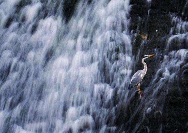 Près d'une chute d'eau, un héron cendré.