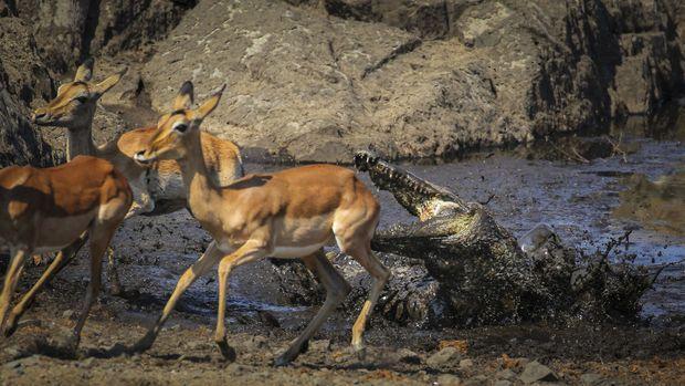 Impalas et Crocodile