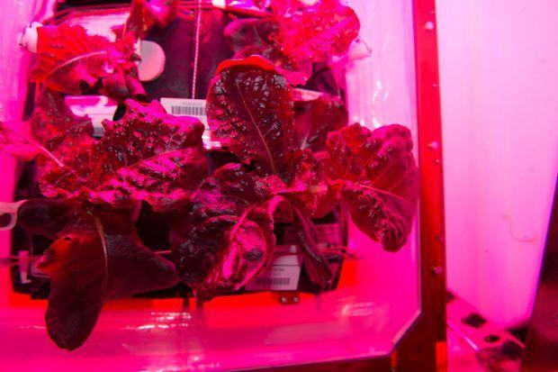 """La salade """"Outredgeous"""" cultivée par la Nasa à bord de l'ISS."""