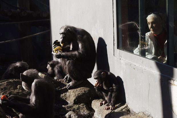 Jane Goodall en juin 2011 au zoo Taronga de Sydney, en Australie.