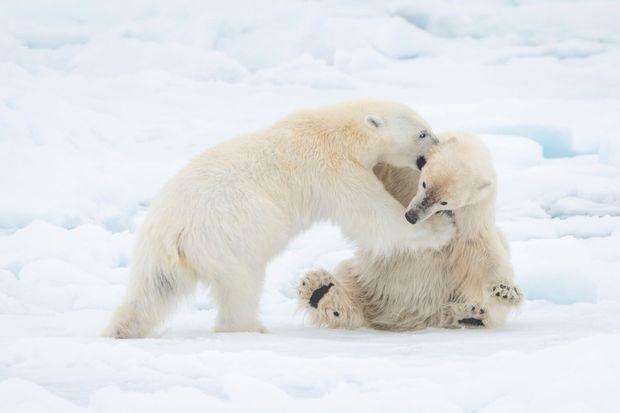 L'ours polaire a beau être un grand solitaire, il ne déteste pas la compagnie de ses congénères. Qu'il s'amuse ou qu'il somnole, il règne en maître sur le désert immaculé de l'Arctique.