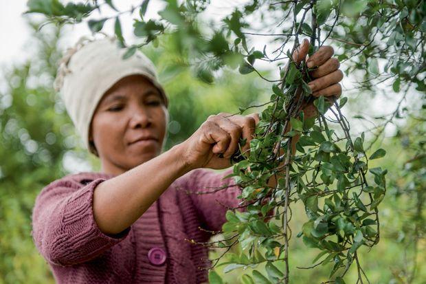 La récolte de l'Aphloïa est assurée à 80 % par des femmes