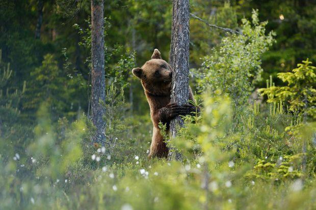 Un ours dans la taïga lapone.