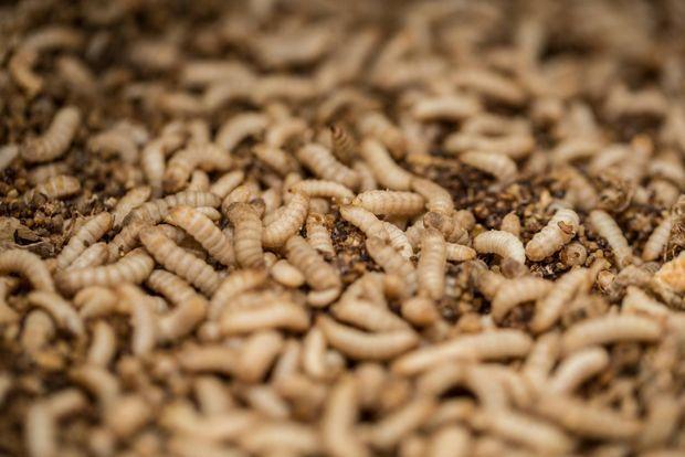 """Les larves de mouche soldat et le fertilisant """"bio"""""""