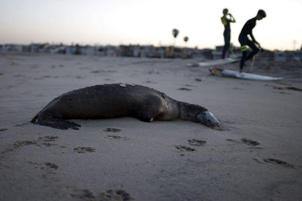 Le cadavre d'un lion de mer sur Hermosa Beach le 2 avril 2015.