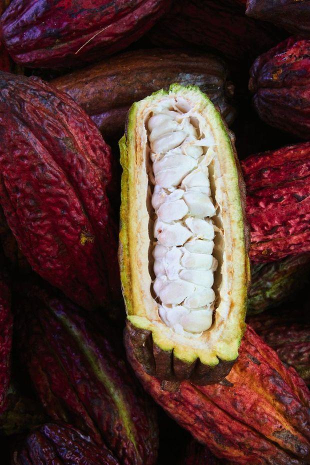 Le mucilage (pulpe blanche qui entoure les fèves dans la cabosse) donne des indications sur les futurs arômes du cacao.