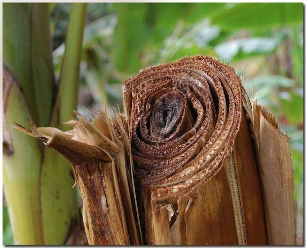 Le tronc de bananier, la matière première vertueuse de la jeune entreprise martiniquaise.