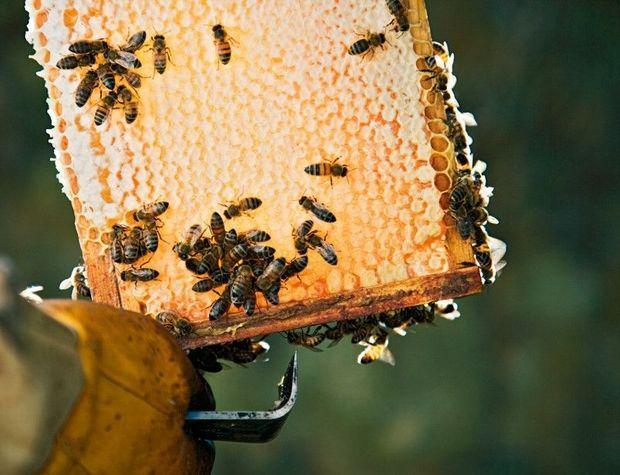 Les apiculteurs veillent sur les cadres de leurs ruches qui permettent la récolte de l'or jaune.