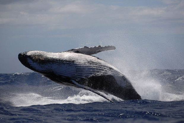 Les baleines à bosse exécutent des sauts impressionnants, parfois au plus près des embarcations, voire des nageurs.