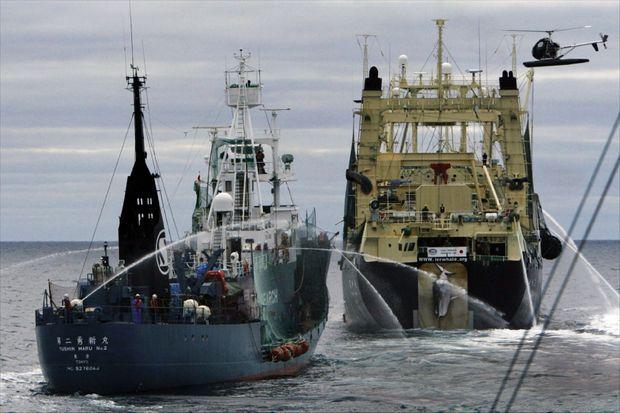 Les batailles héroïques de Sea Shepherd. En 2013, deux baleiniers japonais visent les bateaux des militants avec des canons à eaux. Les heurts sont fréquents avec cette ONG qui s'efforce d'entraver les campagnes de pêche.