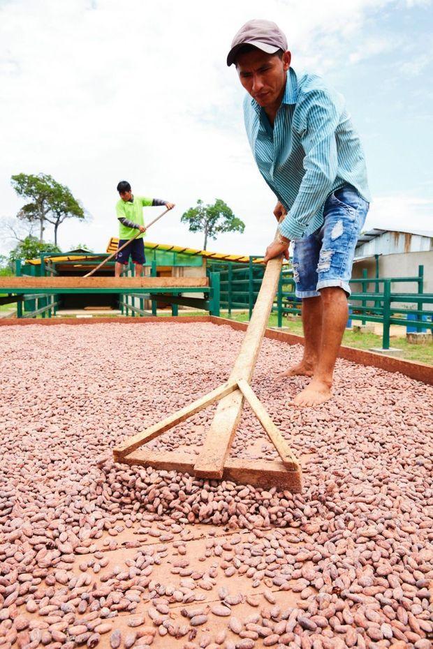 Les fèves doivent sécher en plein air et être régulièrement remuées