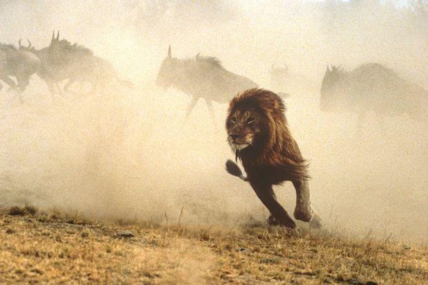 Lion à la chasse aux gnous, réserve nationale du Maasaï Mara, Kenya