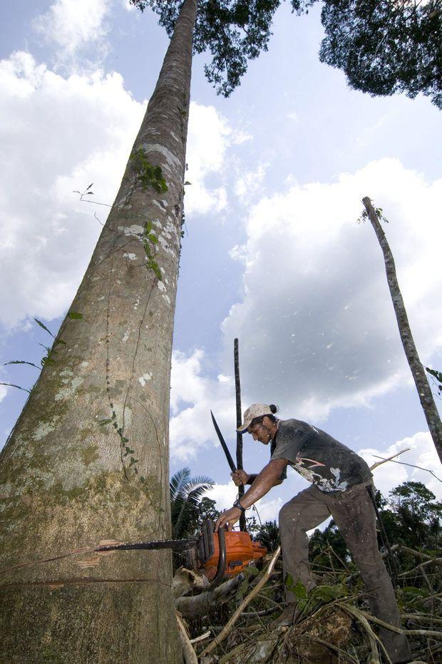 Il faudra moins d'un quart d'heure à cet ouvrier pour venir à bout de ce fromager d'une trentaine de mètres de haut.