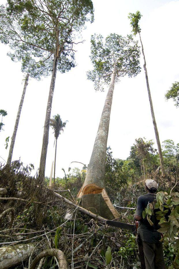 Modification de la luminosité, changements climatiques... L'environ- nement est la première victime de la chute de ces grands arbres.