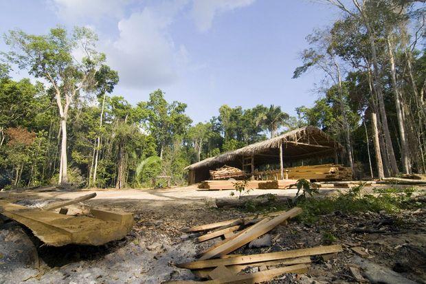 Tapies au cœur de la forêt comme des laboratoires de fabrication de cocaïne, les scieries clandestines sont légion.