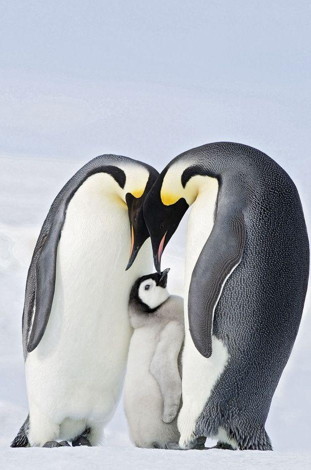 Il existe 50 colonies d'empereurs en Antarctique. Celle de la terre Adélie compte près de 7 000 individus.