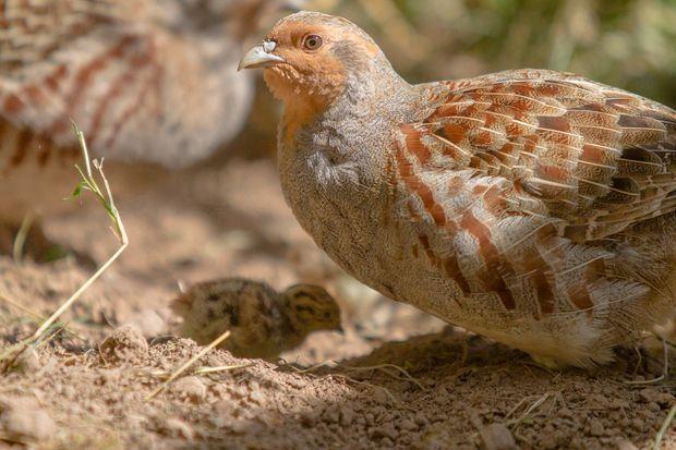 Extrait du documentaire « Vers un monde sans oiseaux ».