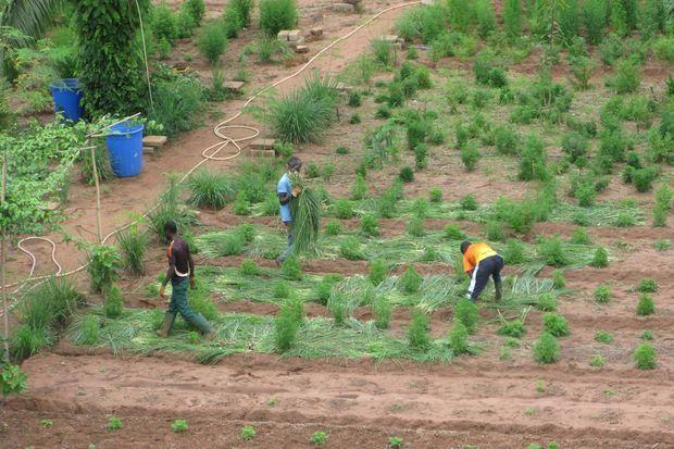 Paillage des plants d'Artemisia.