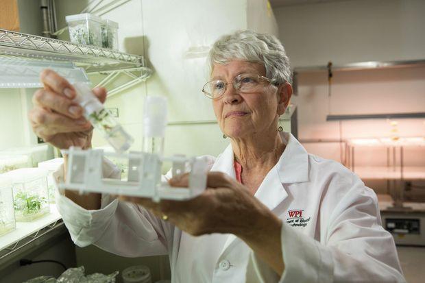 Dans son laboratoire, Pamela Weathers examine une culture d'Artemisia annua.