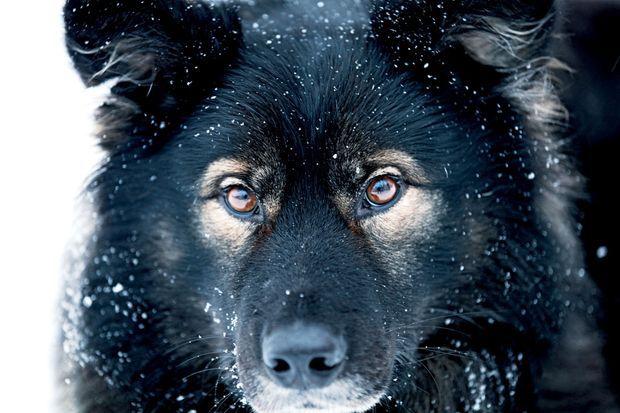 Olga, la chienne russe de la maison, sait détecter la présence d'ours à 10 kilomètres à la ronde.