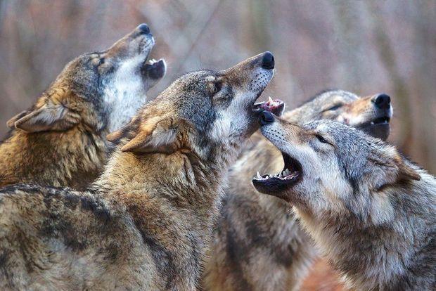 On recense près de 18000 loups en Europe et dans la partie européenne de la Russie