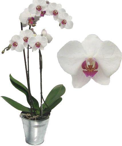 orchidee-