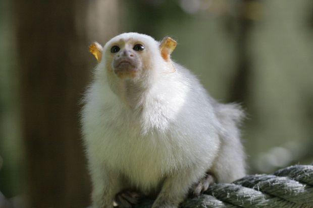 Un des ouistitis argentés volés au ZooParc de Beauval.