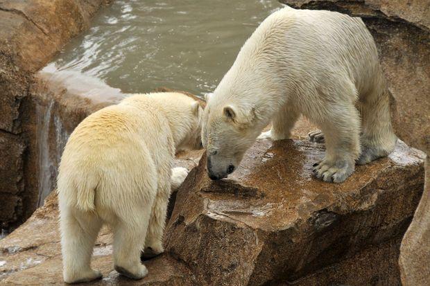 Flocke et Raspoutine, les deux ours polaires du Marineland d'Antibes.