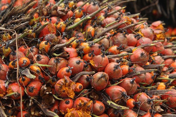 Des palmiers à huile.