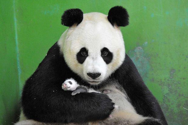Des pandas triplés sont nés en juillet dernier au sein du Chimelong Safari Park de Guangzhou, en Chine.