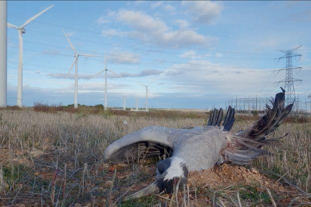 Parmi les obstacles sur les chemins de vol des grues cendrées, les éoliennes.