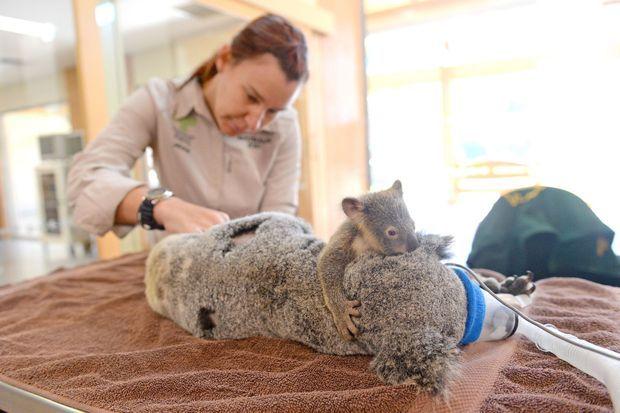 Phantom le petit koala et sa mère Lizzy.