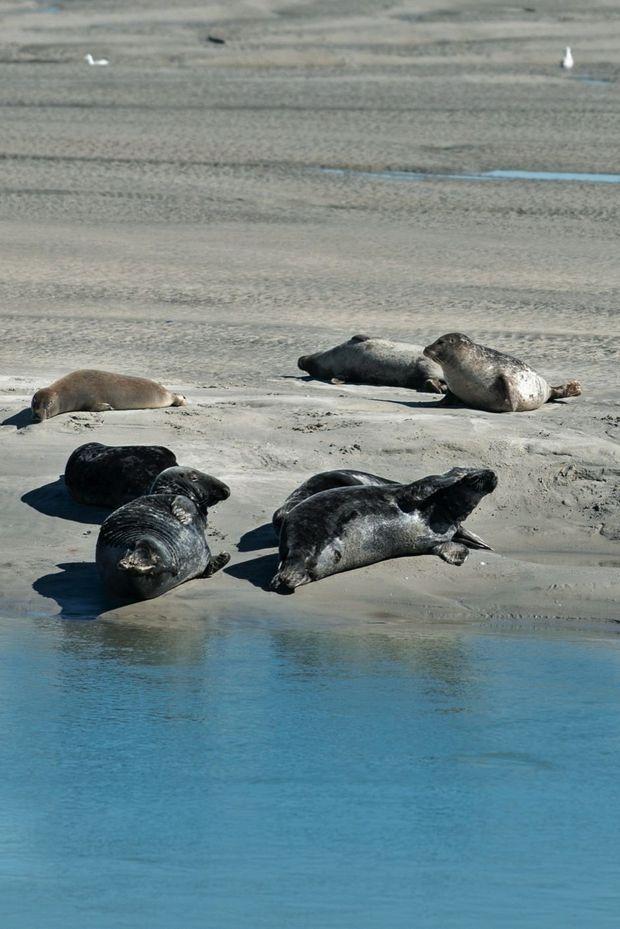 Dans la baie, les phoques, craintifs et pas si nombreux, sont devenus une attraction touristique et un sujet d'observation pour l'écologiste Aymeric Everard.