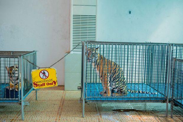 Retirés à leur mère dès la naissance, les jeunes tigres du Sriracha Tiger Zoo de Chonburi (Thaïlande) ne quittent leur cage que pour les séances photos avec les touristes.