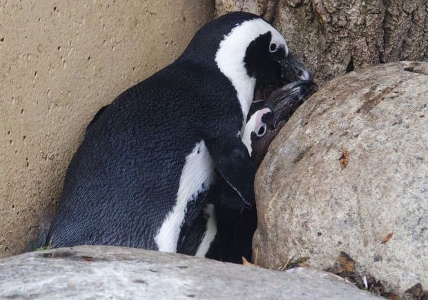 pingouins gays toronto III-