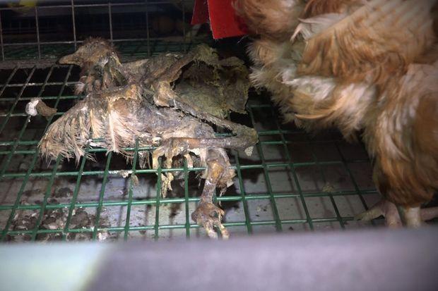 Les poules cohabitent avec les cadavres