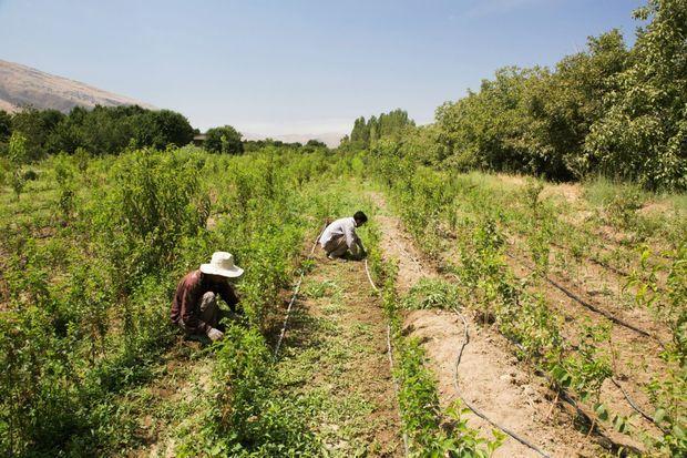 Pour enrayer la progression du sel, certains agriculteurs pratiquent l'irrigation au goutte à goutte