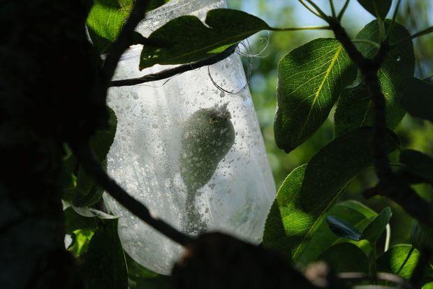 Près d'Orléans, les poires Williams poussent à l'intérieur de bouteilles fixées aux branches, sans produits chimiques...