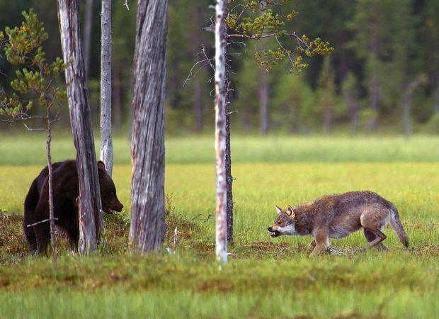 Quand Canis lupus croise un ours brun, comme ici en Finlande, c'est à qui intimidera l'autre en grognant le plus fort.