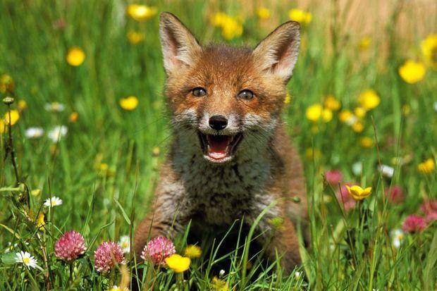 Un petit renard photographié en Normandie.