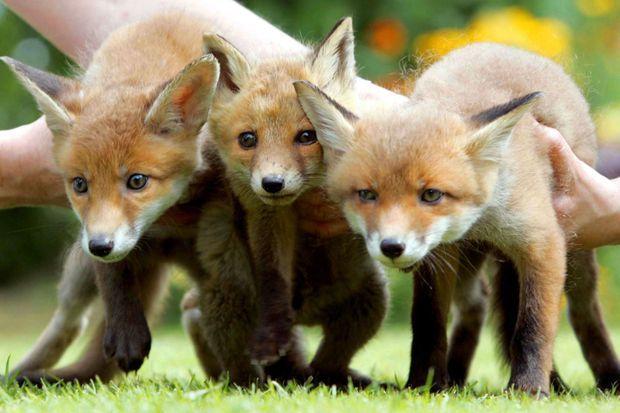 Trois petits renards sauvés.