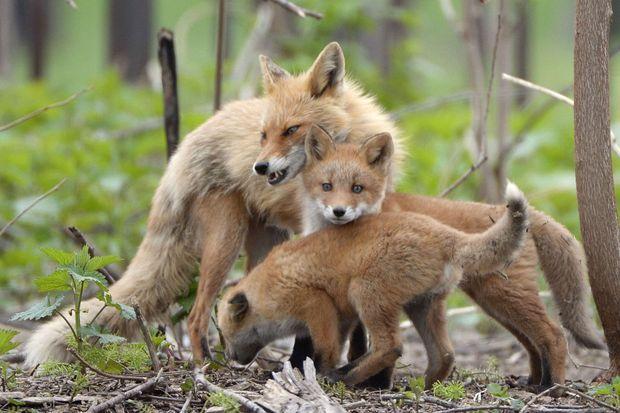 Une famille de renards.