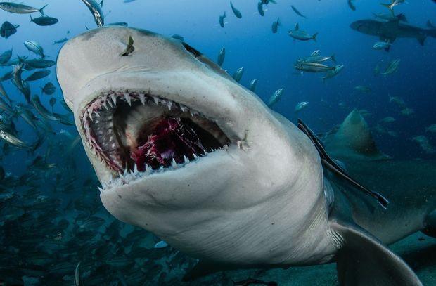Cette proie n'a pas échappé au coup de mâchoires du requin citron (Floride).