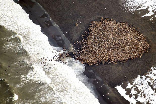 Les morses tentent de rejoindre la mer.