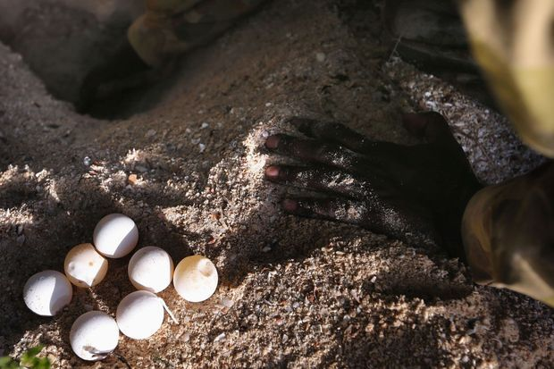 Des oeufs de tortue de mer.