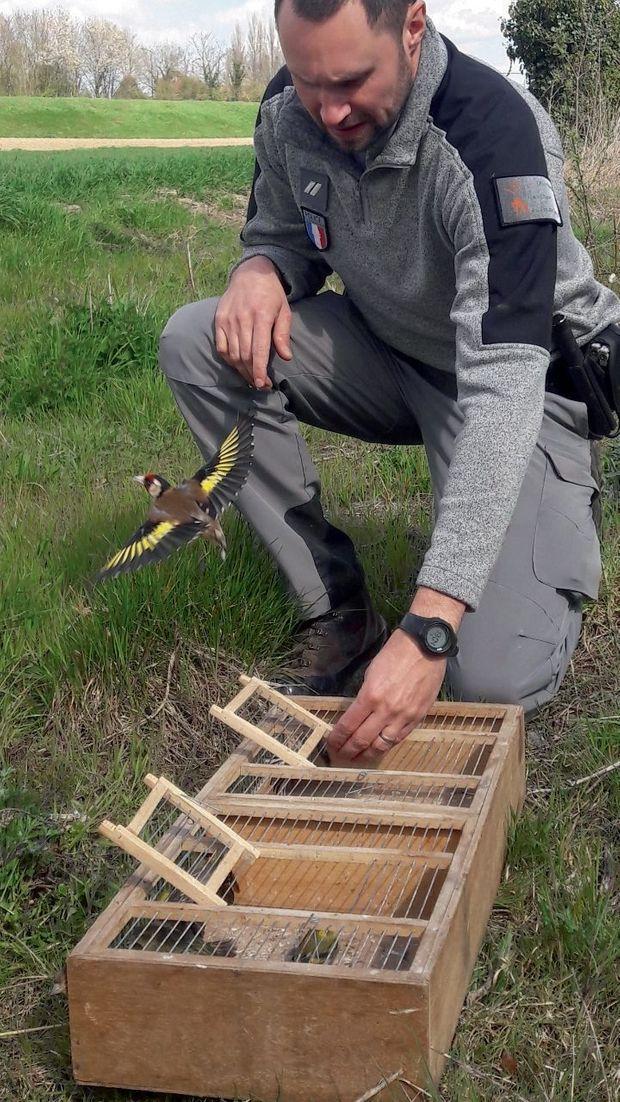 Saisi en avril 2019 avec 111 autres passereaux dans la région lilloise, ce chardonneret retrouve la liberté grâce à un garde de l'ONCFS.
